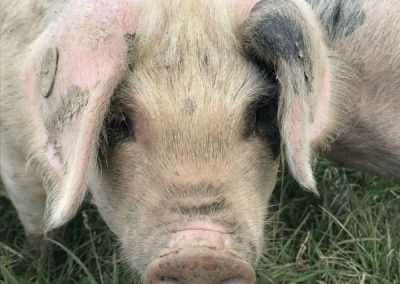 Gallery close up pig 600x450px