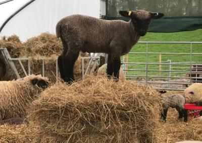 Lamb on a Haystack