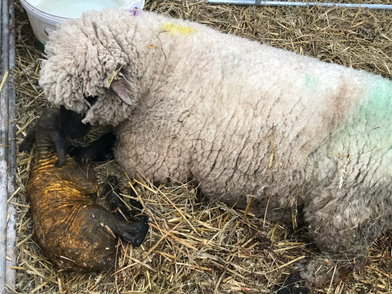 Lambing | Plump Hill Farm | Lamb Producer Forest of Dean