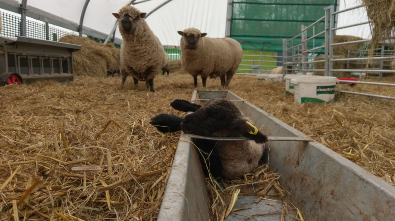 The Wonderful World of Lambing!